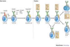 Concept B and T Cell Response