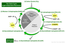 Concept Calvin Cycle