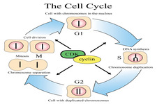 Concept Cell Cycle
