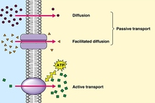 Concept Cell Transport