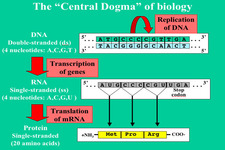 Concept Central Dogma of Molecular Biology