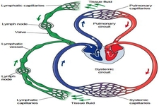 Concept Circulation and the Lymphatic System