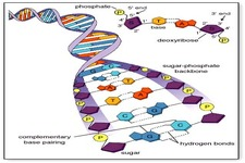 Concept DNA, the Genetic Material