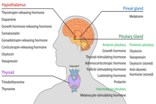 Concept Endocrine Glands and Hormones