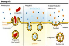 Concept Exocytosis and Endocytosis