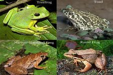 Concept Frogs and Toads