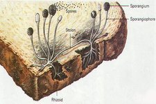 Concept Fungi Structure