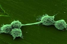 Concept Fungus-like Protists