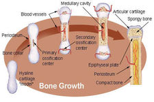 Concept Growth and Development of Bones