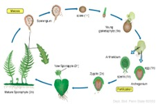Concept Gymnosperm Life Cycle