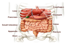 Concept Health of the Digestive System