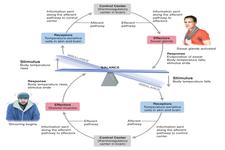 Homeostasis | CK-12 Foundation