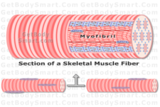 Concept Muscle Contraction