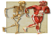 Concept Muscles, Bones, and Movement