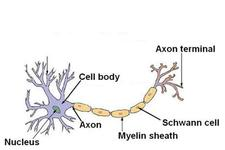 Concept Nerve Cells