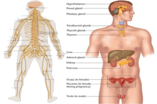 Concept Nervous and Endocrine Systems