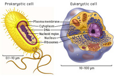 Concept Prokaryotic and Eukaryotic Cells