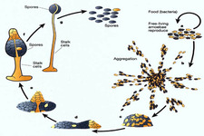 Concept Reproductive Life Cycles