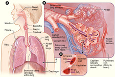 Concept Respiratory System Health