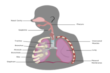 Concept Respiratory System Organs