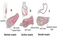 Concept Smooth, Skeletal, and Cardiac Muscles