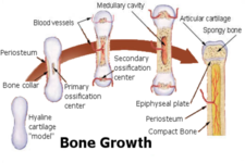 Concept Structure of Bones