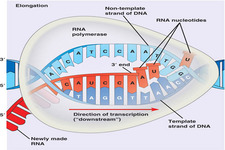 Concept Transcription of DNA to RNA
