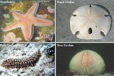 Concept Types of Echinoderms